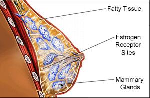 breast_anatomy